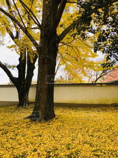 奈良の銀杏の写真・画像素材[1010335]