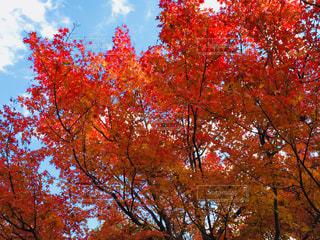 空と紅葉の写真・画像素材[1010362]