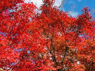 紅葉と空の写真・画像素材[1010363]