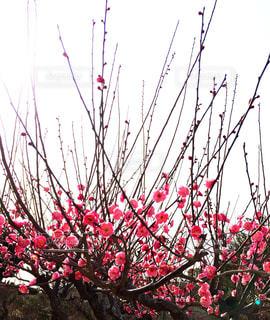 紅梅の写真・画像素材[1022277]