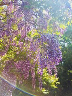藤の花の写真・画像素材[1032570]