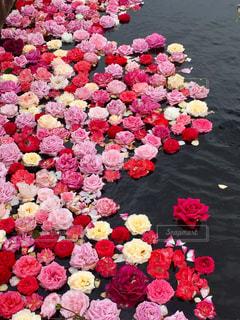 水面に浮かぶバラの写真・画像素材[1248990]