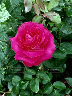 赤いバラの写真・画像素材[1248992]