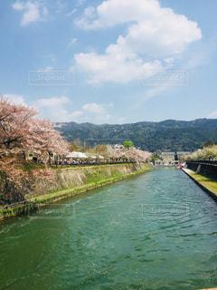 京都岡崎の桜の写真・画像素材[2906493]