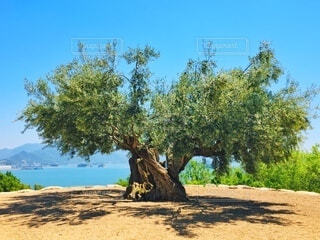 小豆島の樹齢千年のオリーブの木の写真・画像素材[3896981]