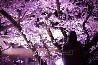 桜とシルエットの写真・画像素材[2065550]