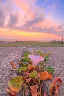 朝顔と夕焼けの写真・画像素材[4532818]