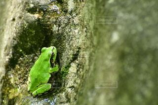 岩の上に身を隠すアマガエルの写真・画像素材[4824720]
