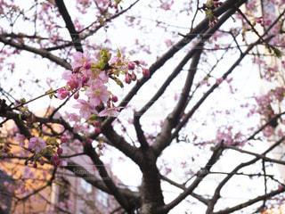 枝に座っているピンクの花の木の写真・画像素材[1023249]