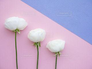 ピンクと白の花のグループの写真・画像素材[1061539]