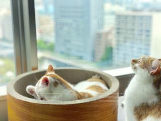 窓の前に座ってオレンジと白猫の写真・画像素材[1189299]