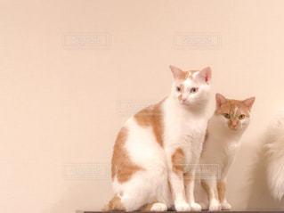 その口を開いてオレンジと白猫の写真・画像素材[1774725]