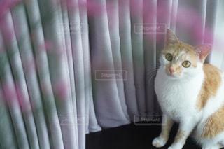 カメラを見ている猫の写真・画像素材[2377743]