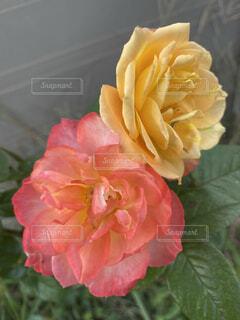 薔薇の写真・画像素材[4828226]