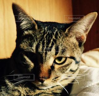 猫の写真・画像素材[217042]