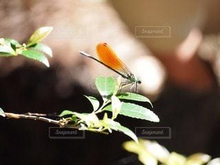 自然,森,葉っぱ,川,葉,山,小川,虫,トンボ,昆虫,羽,羽根,渓谷,清流,蜻蛉,アサヒナカワトンボ,羽ばたく,野生