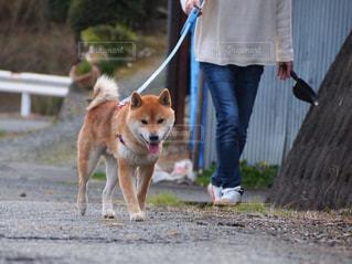 犬,歩く,ウォーキング,散歩,柴犬,健康