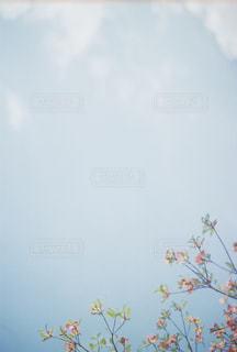 空に映えるハナミズキの写真・画像素材[1399969]