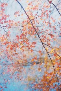 紅葉の写真・画像素材[1658532]