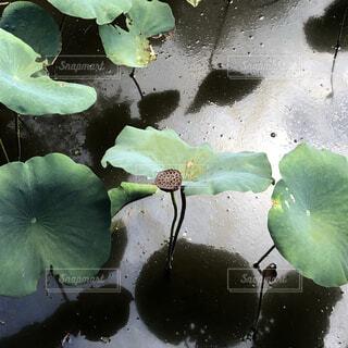 蓮の写真・画像素材[4908324]
