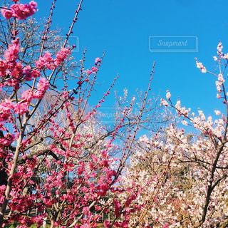 梅の花の写真・画像素材[1067815]