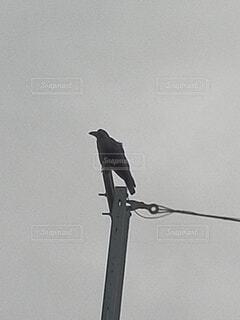 電信柱の上のカラスの写真・画像素材[4849676]