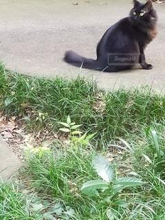 草の上に横たわっている猫の写真・画像素材[4946869]