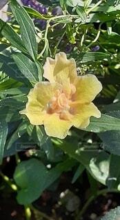 黄色い花の写真・画像素材[4918271]