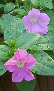 ピンクの花の写真・画像素材[4918270]
