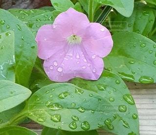 雨上がりの花の写真・画像素材[4918273]