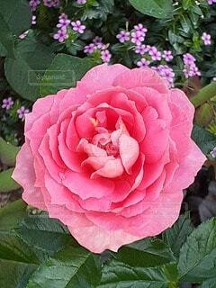 ピンクの花のクローズアップの写真・画像素材[4920898]