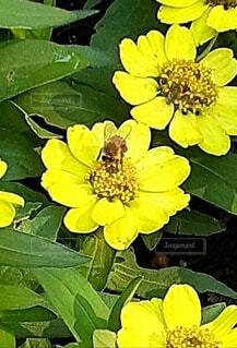 蜂のいる黄色い花の写真・画像素材[4920901]