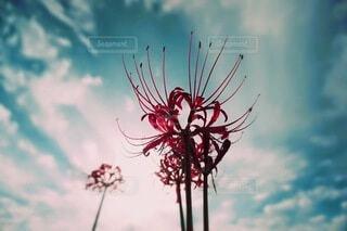 空を見上げる彼岸花の背中の写真・画像素材[4851136]