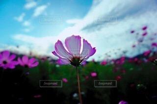空を見上げるコスモスの背中の写真・画像素材[4851137]