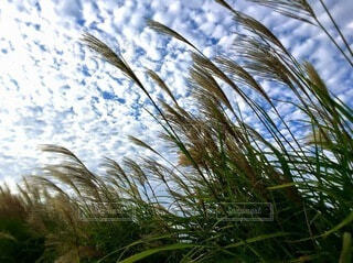 風にゆれるすすきのみなさんの写真・画像素材[4851165]