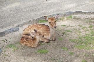 鹿の親子の写真・画像素材[4851355]