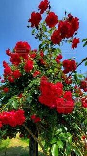 青空に赤い薔薇の写真・画像素材[4850875]
