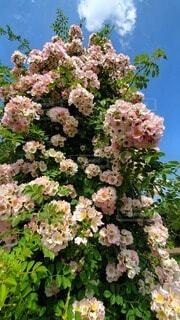 青空とピンクのバラの写真・画像素材[4850879]