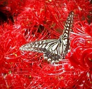 彼岸花とアゲハ蝶の写真・画像素材[4852433]
