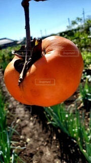 秋の空と柿の写真・画像素材[4952676]
