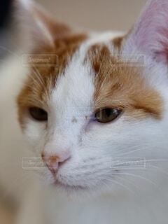 伏目がちな猫の写真・画像素材[4853430]