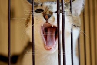 出してと叫ぶ猫の写真・画像素材[4874301]