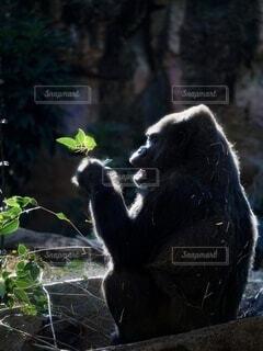 無邪気なゴリラの写真・画像素材[4877616]