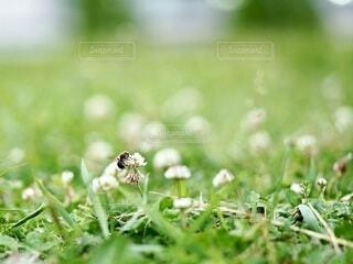 クローバーとハチの写真・画像素材[4882593]