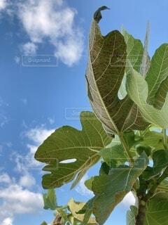 無花果の葉と青空_2021の写真・画像素材[4879188]