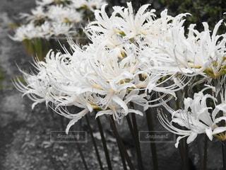 白い彼岸花の写真・画像素材[4857881]