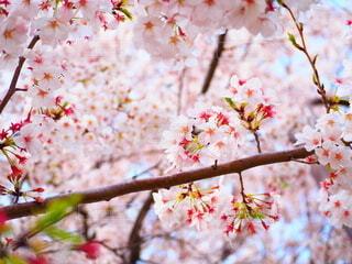 桜の写真・画像素材[4860540]