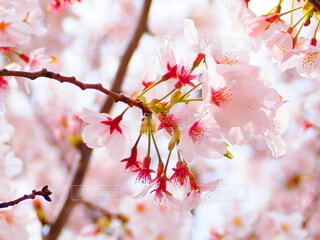 桜の写真・画像素材[4860541]