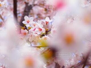 桜の写真・画像素材[4860539]