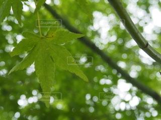 紅葉前のモミジの写真・画像素材[4882229]